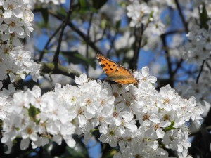 Le prunier d'Albanie en fleurs